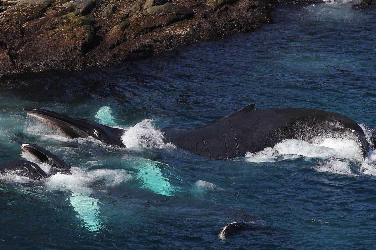 whales-feeding